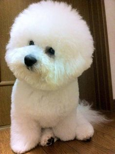 puffy bichon