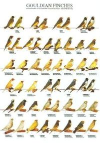 See all of the the Gouldian Mutations pictured in one place on this laminated poster | Laraine's Lady Gouldians