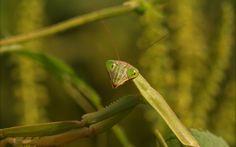 Mantis smiles