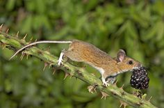 Third prize winner in The Mammal Society competition was Gary Cox, with a photo of a wood mouse with a blackberry, which judges said showed a common mammal, often overlooked and under-appreciated, in an extraordinary way.