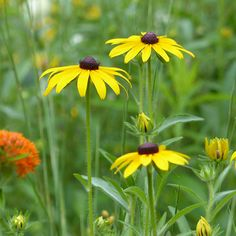 Otherwise known as Black-eyed-Susan. The epitome of high summer in the cottage garden.