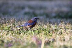 Western Bluebird near Wickenburg, Arizona.