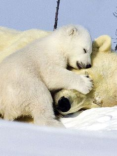 baby polar bear cuddling with mom