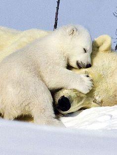 baby polar bear cuddling with momma polar bear....couldn't be any cuter