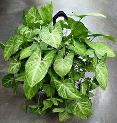Syngonium cultivo y cura