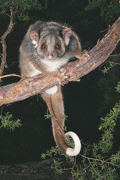Ringtail Possum + succulent garden = all you can eat buffet