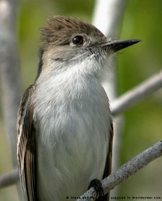 La Sagra's Flycatcher (Myiarchus sagrae) breeds on Cuba, the Bahamas & Grand Cayman in the West Indies. It is normally a year-round resident, however has been known as an occasional vagrant to southern Florida.