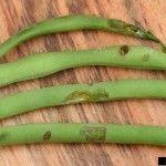 green bean pest