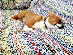 napping corgi