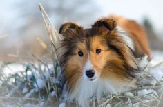 Mini Collie, World Pictures, Shetland Sheepdog, Sheltie, Animals And Pets, Dog Cat, Creatures, God, Cats