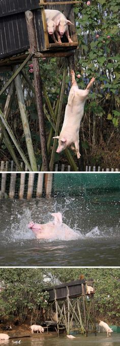 Random Pictures Of The Day - 74 Pics pig diving board!!!