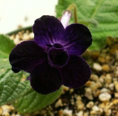 Cape Primrose 'Black Gardenia' (Streptocarpus) wonder if it smells like white gardenias. Beautiful