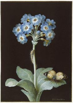 ❈ Fleurs Foncées ❈ dark art photography flowers and botanical prints - Primula auricula with caterpillar and pale clouded yellow butterfly by Barbara Regina Dietzsch, century. Art Floral, Motif Floral, Botanical Drawings, Botanical Illustration, Botanical Prints, Photo Fruit, Dibujos Pin Up, Primula Auricula, Sibylla Merian