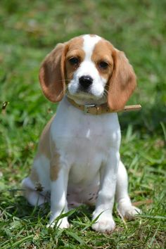 Dodger Blue. Eight weeks old Beaglier. Beagle and Cavalier ...