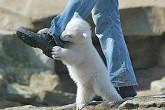 Baby Polar Bear   Funny Picture   Baby Polar Bear Attack