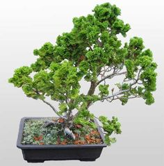 bonsai trees | Bonsai Trees and Gardening