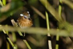 Foto chupa-dente (Conopophaga lineata) por Victor Chahin