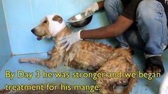 Cechien errant, surnommé Major Sahib a été retrouvé dans un état déplorable, et il était sur le point de mourir. Sa tête était rongée par les vers, et cette pauvre bête était tellement faible qu'elle ne pouvait même plus se tenir debout. Mais les sauveteurs de Animal Aid Unlimited l'ont trouvée, l'ont enveloppée dans une …