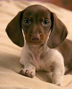 Dachshund Coat Color Weenie Dogs Sausage Dog Dachshund Love