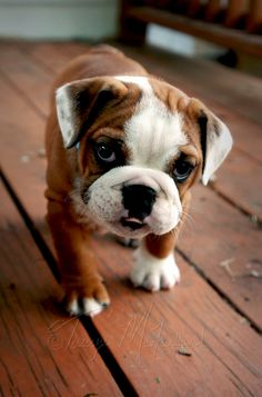 Bulldog - For Tarryn Cute Dogs And Puppies, Bulldog Puppies, I Love Dogs, Doggies, Animals And Pets, Baby Animals, Cute Animals, Bulldogs Ingles, Baby Bulldogs