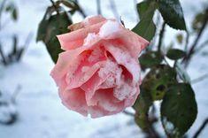 Fleurs  sous la neige   ...