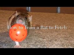 How to Train A Rat to Fetch (New) - YouTube