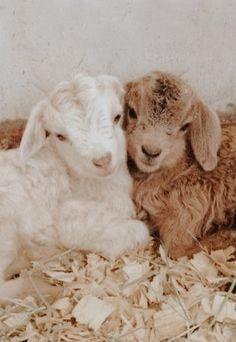Cute Wild Animals, Baby Animals Pictures, Super Cute Animals, Cute Little Animals, Cute Animal Pictures, Cute Funny Animals, Animals Beautiful, Fluffy Cows, Fluffy Animals