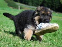 GSD Puppy running off with a shoe Baby German Shepherds, German Shepherd Puppies, Funny Animal Pictures, Dog Pictures, Funny Dogs, Cute Dogs, Awesome Dogs, Shiloh Shepherd, Schaefer