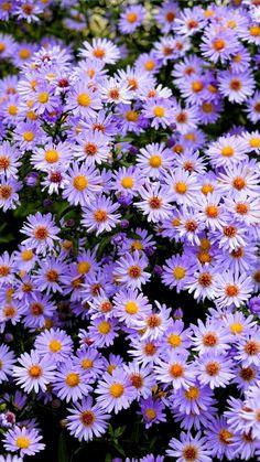 Purple Flowers Wallpaper, Flower Iphone Wallpaper, Sunflower Wallpaper, Beautiful Flowers Wallpapers, Beautiful Nature Wallpaper, Flower Backgrounds, Cute Wallpapers, Plain Wallpaper, Fall Wallpaper