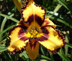 Enjoy a day lily photo fest ... plus grower's tips.