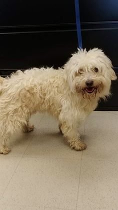 """dc829728cd4f Adopt Oliver """"Ollie"""" - The Sweet Maltipoo on"""