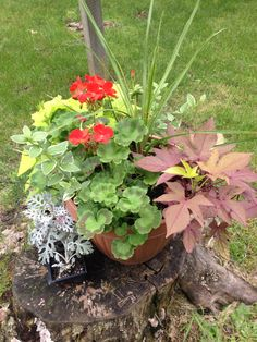 The basket I put together with geraniums, two kinds of sweet potato vines, a spike, and vinca that I dug up from on of my beds. I put this basket on the stump near my sunny mulch / tree island close to the pool.