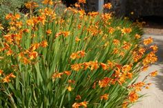 Crocosmia x crocosmiiflora Rue de la Pointe Park, Brest, France) Spring Flowering Bulbs, Spring Plants, Spring Bulbs, Spring Flowers, Crocosmia, Bulbs For Sale, Buy Flowers, Summer Colors, Shrubs