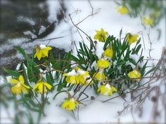 Narcissus 'Rijnveld's Early Sensation' (trumpet daffodil) In milder winters, or in particularly sheltered gardens, this trumpet daffodil can be in bloom around Christmas and long before any other daffodil is hardly through the ground. blooms: December to February