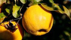 Ceaiul de gutui reface celulele ficatului, susține funcția stomacului și pancreasului - AM Press