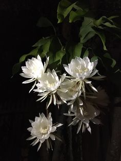 My moms queens of the night are blooming and they smell amazing! Exotic Plants, Exotic Flowers, White Flowers, Beautiful Flowers, Night Blooming Flowers, Night Flowers, Moon Garden, Garden Art, Orchid Cactus