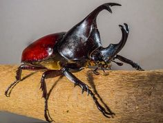 Besouros Tropicais - Imagem gratis no Pixabay