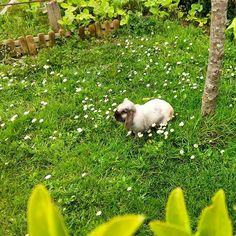 Pompón ya primaveral. #rabbit
