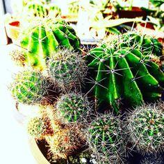 #ミチバタニク  #寄せ植え #ハンギング #植物好きと繋がりたい  #ボタニカル#ドライフラワー #多肉#多肉植物#多肉バカ同盟 #観葉植物 #ガーデニング #グリーンインテリア #園芸 #花部 #フラワー #花のある暮らし  #succulents #cactus#gardening #containergarden #flowerstagram #florist #greenthumb #plants#containergarden #根塊植物 #botanical#珍奇植物 #サボテン