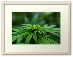 Marijuana Plants by