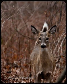 Here is a couple more white tailed deer I seen at Ojibway park Beautiful Love Pictures, White Tail, Forests, Deer, Photography, Animals, Photograph, Animales, Animaux