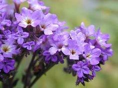 Heliotrope - Associations - The Sun, Leo, Helios - Sacred to all solar deities, heliotrope can be used when Drawing Down the Sun or any Work that focuses on strengthening the solar aspects of self. It also smells heavenly.