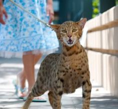 Savannah Cats Worlds Largest Domestic Cat Savannah Cats Black Spotted Exotic Cat Breeds, Exotic Cats, Rare Cats, Cats And Kittens, Gato Serval, Ashera Cat, Large Domestic Cat Breeds, Asian Leopard Cat, Kitty Cats