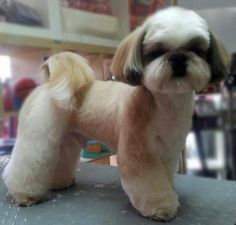 -Repinned- Shih Tzu longer pet clip.