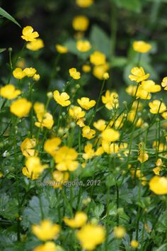 Buttercup Flowers Close up  FINE ART PHOTOGRAPHY  for Nursery or Home Decor. $5.00, via Etsy.