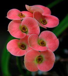 Euphorbia genoudiana (Corona de Cristo)