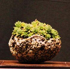 Shitakusa Kusamono Bonsaï Plante d'accompagnement Matsugawa