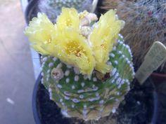 Notocactus scopa v. inermis