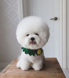 Oh my gosh --  it's head is SO big and fluffy!   Looks out of proportion.   LOL   #bichonapoilfrise#bichonàpoilfrisé
