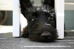 scottie pup